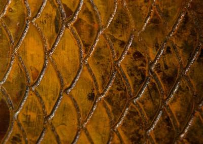hogfish-rusty-2