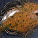 Flounder Patina 3