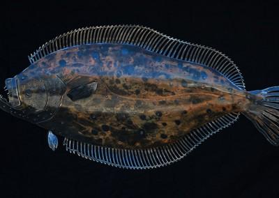 Flounder-1