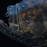Flounder-2